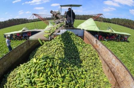 GERMANY-AGRICULTURE-CUCUMBER-HARVEST
